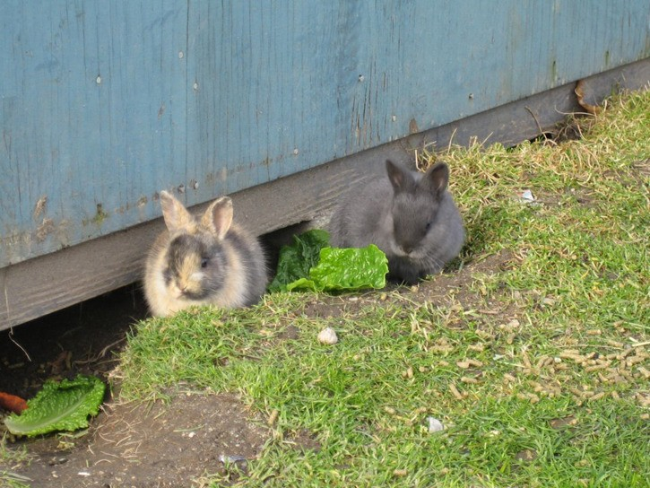 Feral rabbits in Richmond
