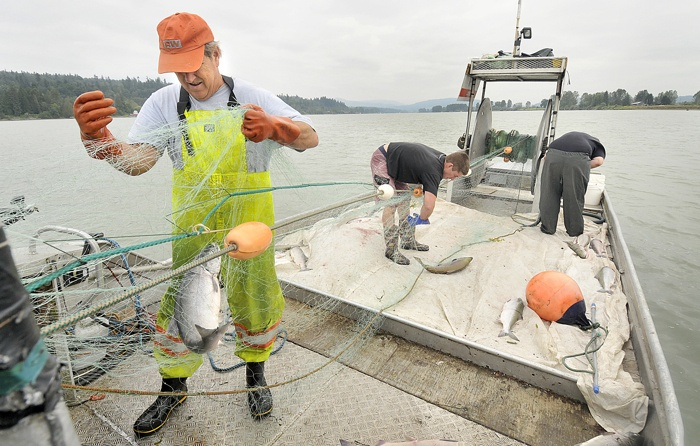 A low run of Fraser River sockeye expected this year likely means there will be no commercial fishery this summer
