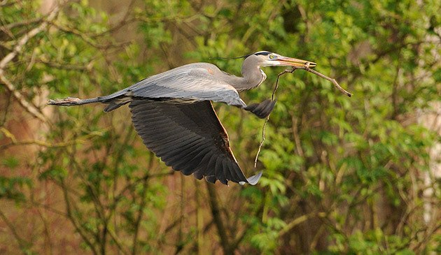 A heron brings a twig back to its nest at the Great Blue Heron Nature Reserve on Wednesday.