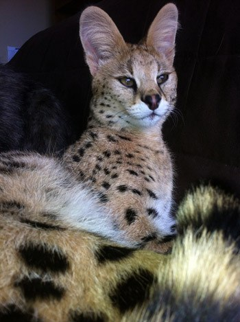 Soca is an African serval cat that went missing on Sept. 10. Anyone with information is asked to contact Dianne Wolff at 604-793-5282.