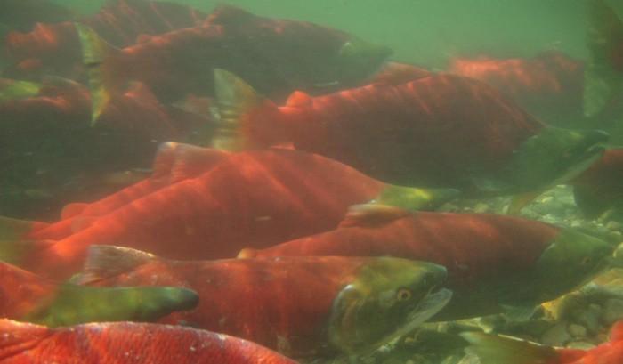 Sockeye salmon spawning in the Adams River in 2010.