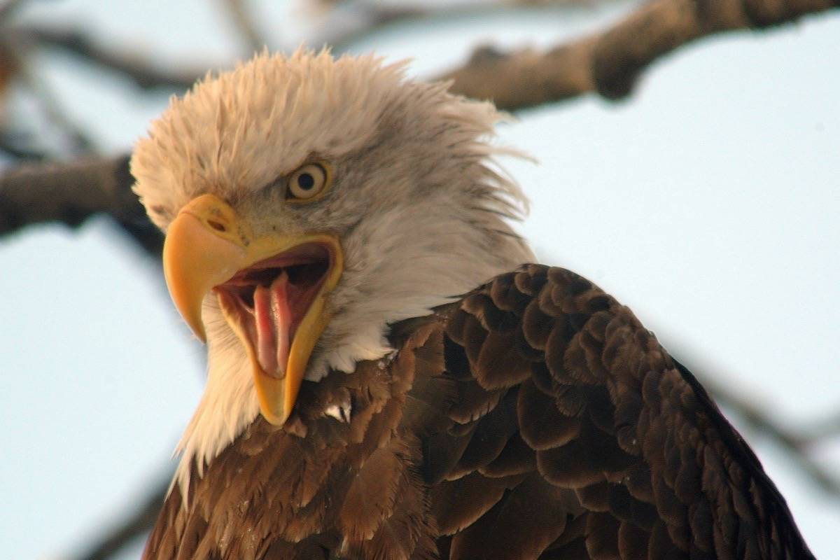 Record Breaking Bald Eagle Numbers Predicted In Harrison Mills This Fall