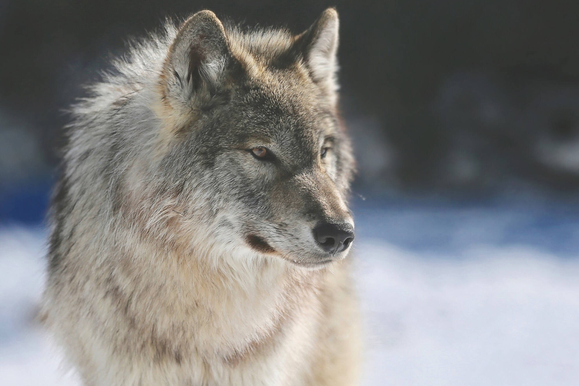 The Nature Conservancy of Canada says giving someone a wolf (or moose, or bear) is a great way to relieve the pressure of gift shopping on yourself and the environment. Photo courtesy the Nature Conservancy.
