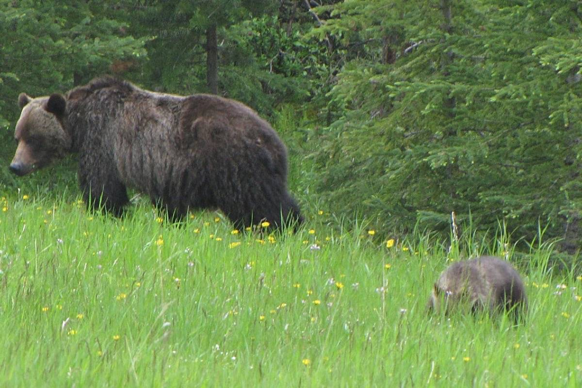 B.C. hunting guide seeks class-action lawsuit in battle over grizzly hunting ban