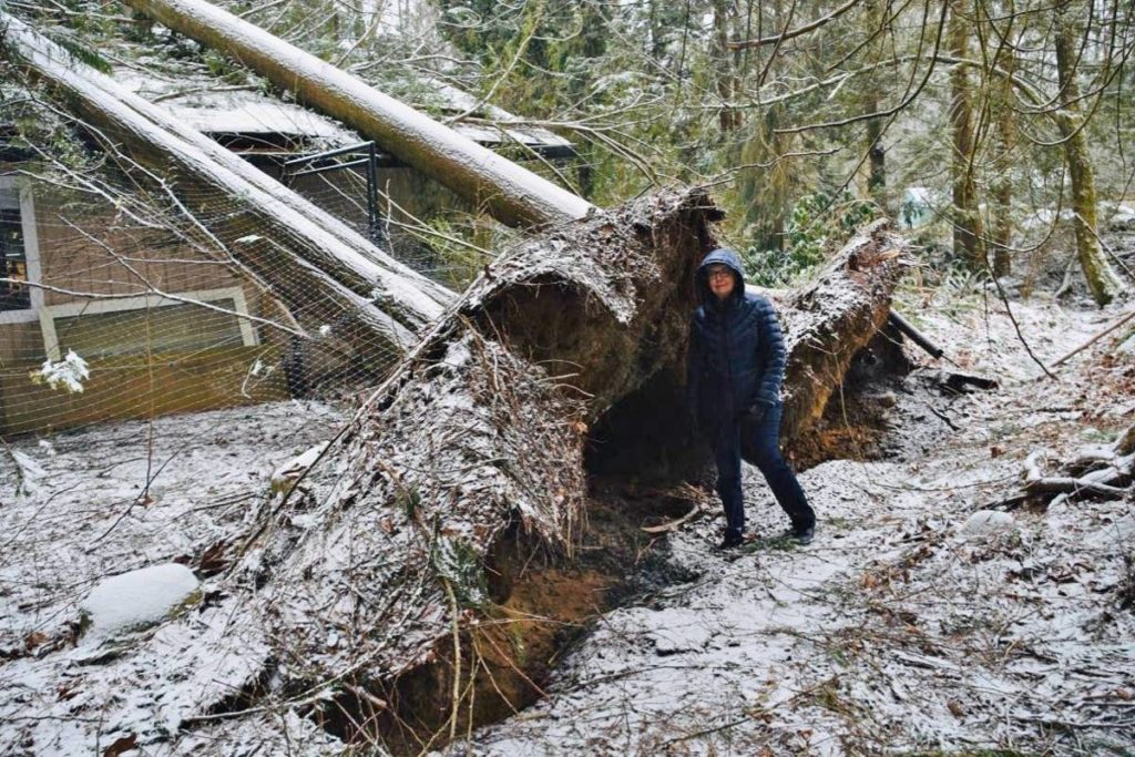 Twin trees topple on to Maple Ridge home - Chilliwack Progress