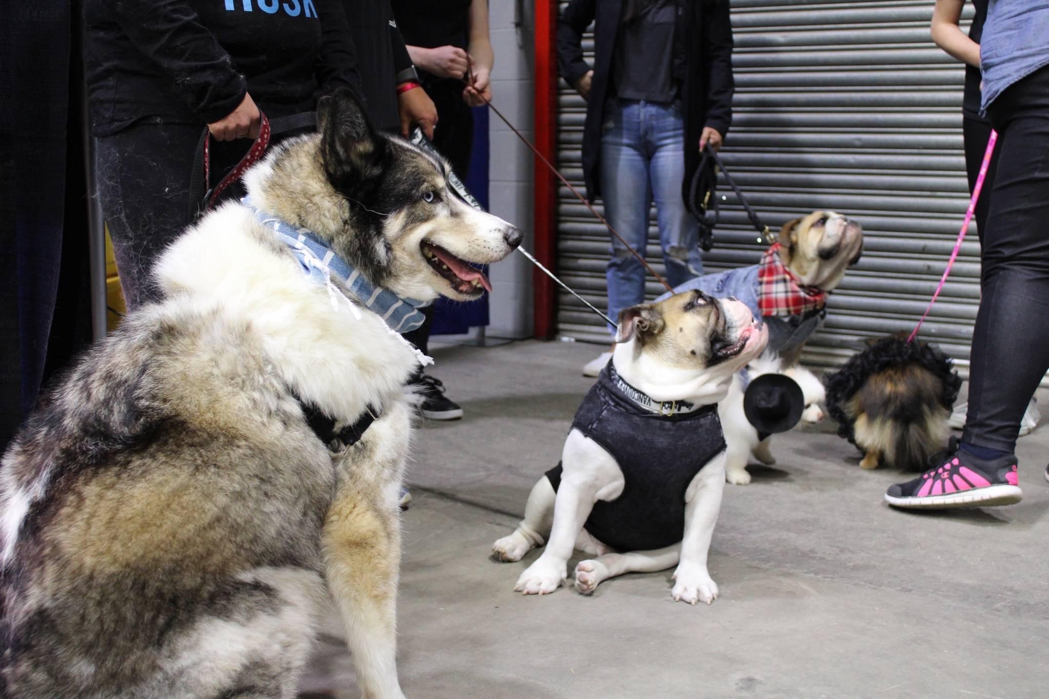 VIDEO: English bulldogs and a pony headline dog fashion show