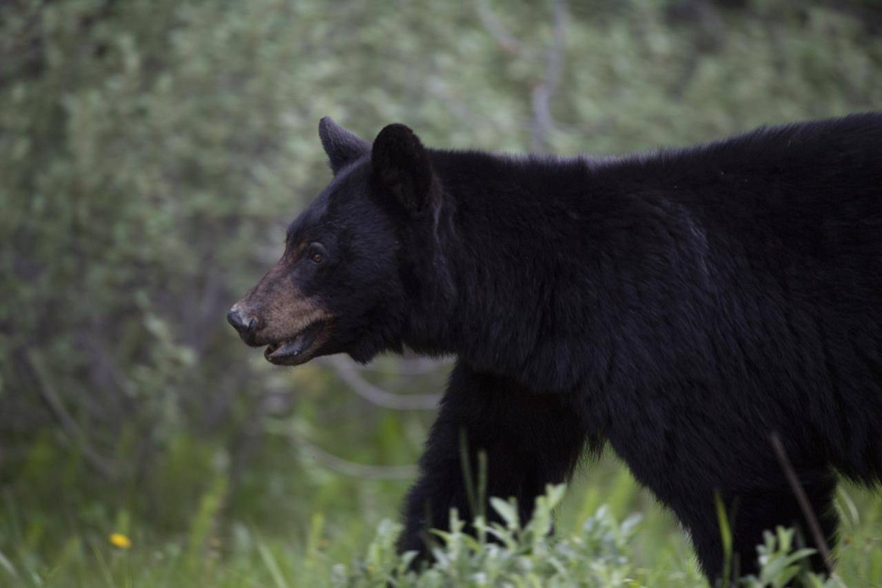 A black bear is seen near Lake Louise, Alberta. (THE CANADIAN PRESS/Jonathan Hayward)