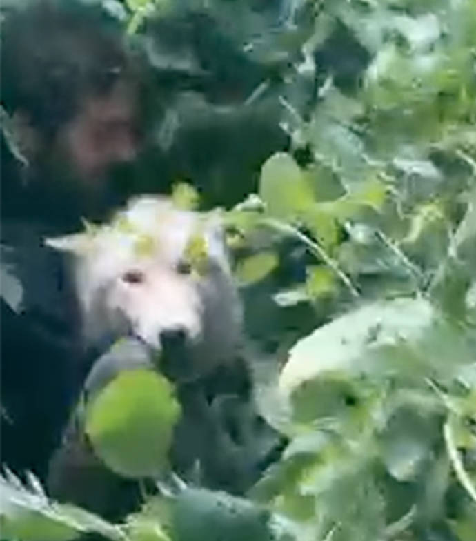 A screenshot of Cyrus Godneir saving a female hybrid from a large blueberry bramble. (Submitted)