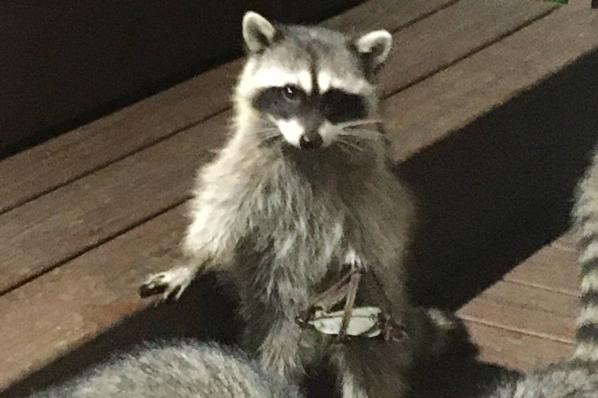 A White Rock resident is raising his frustrations after spotting a raccoon dragging a leg-hold trap this week near Marine Drive. (Frank Groff photo)