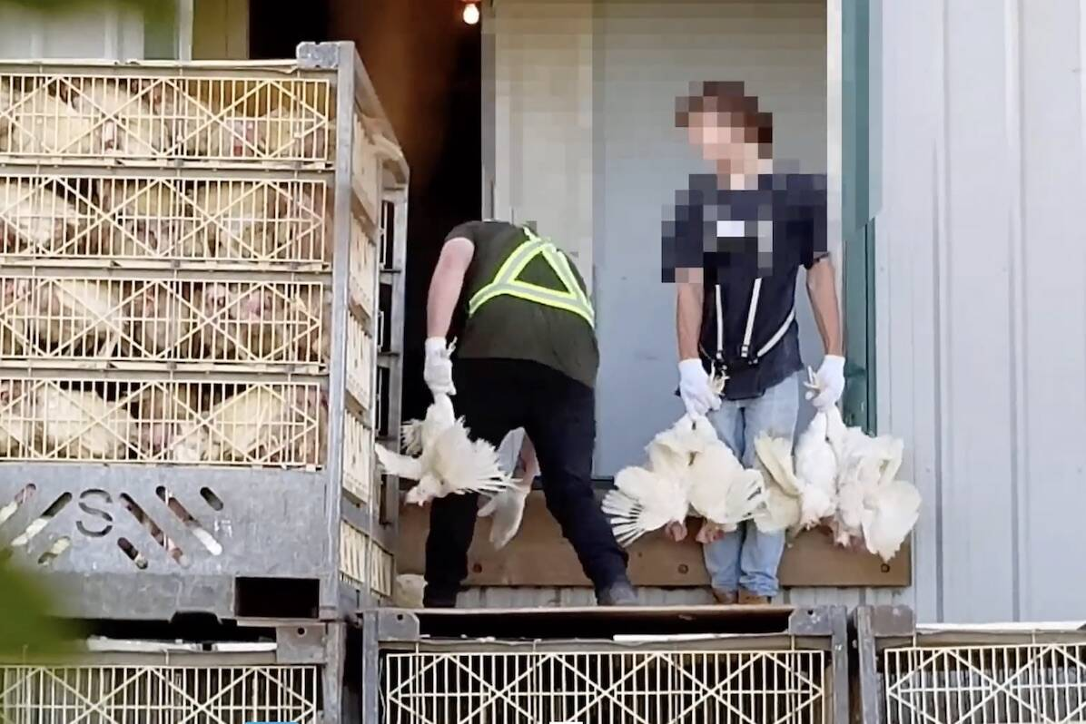 Still from a video of workers loading birds into crates at an Abbotsford egg farm on July 15, 2020, according to Janice Soranno who provided the video to the media. (Vimeo)
